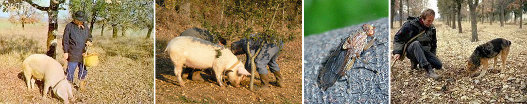 cavage truffe Périgord